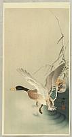 Mallard Flying from a Pond